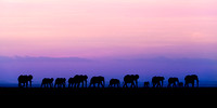 Group of African elephants silhouette against sunset in Amboseli