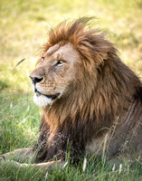 Male lion in serengeti tanzania africa