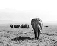 Parade of elephants in ngorongoro crater tanzania africa
