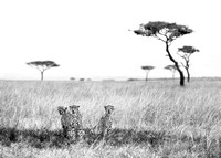 Cheetah group in Serengeti Tanzania Africa