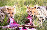 African cheetah cubs eating gazelle in Amboseli Kenya Africa