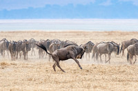 Herd of wildebeest in the Ngorongoro Crater Tanzania Africa