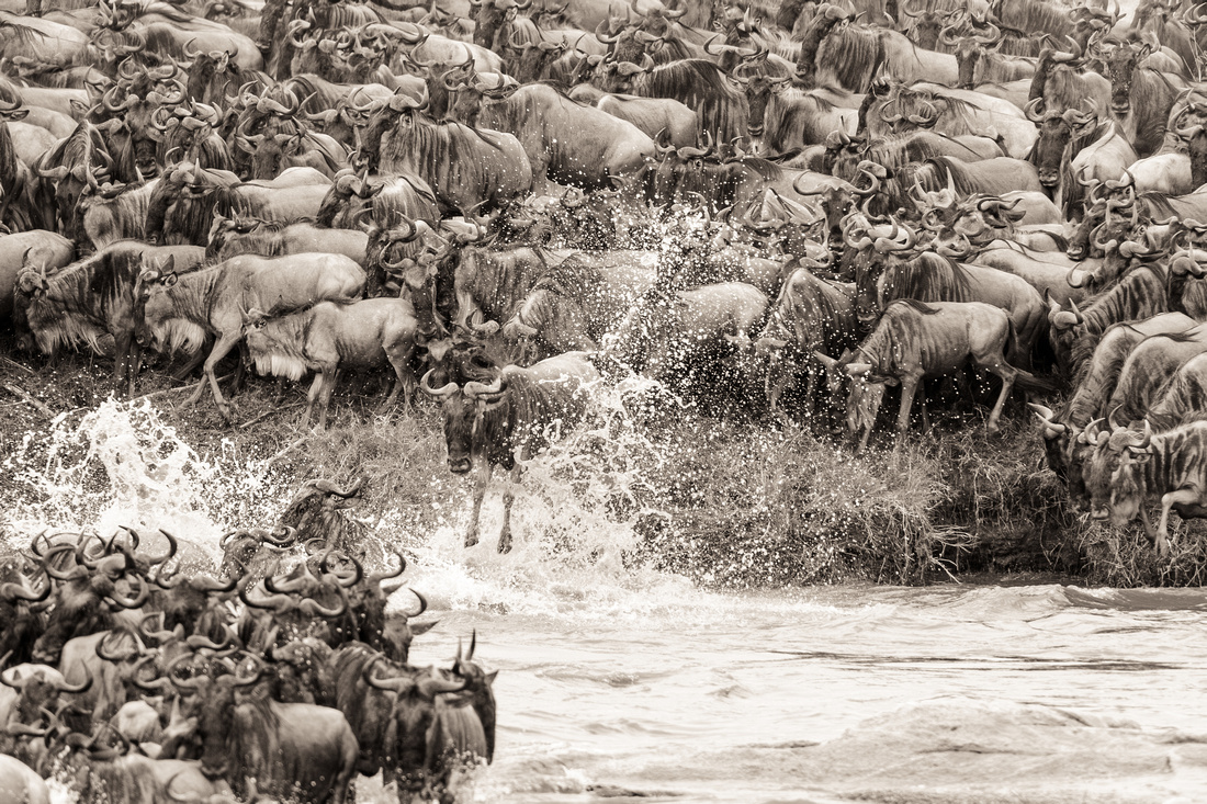 wildebeest migration crossing in serengeti tanzania africa