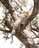 Leopard lounges in tree in Serengeti Tanzania Africa