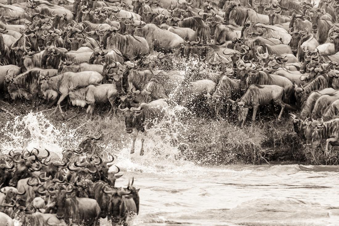wildebeest migration crossing in serengeti tanzania africa