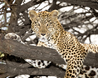 Female leopard in an acacia tree in Maasai Mara Kenya Africa
