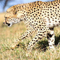 African cheetahs stalk during a hunt in Maasai Mara Kenya Africa